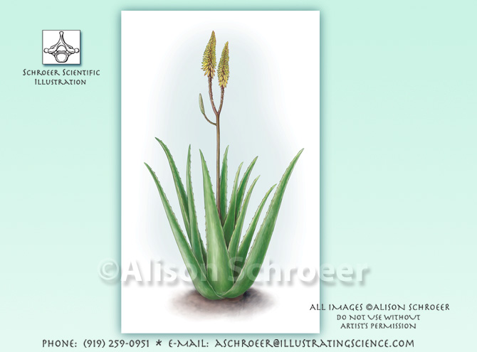 Aloe vera barbadensis illustration